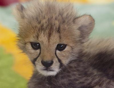 Baby Cheetah - greatly inbreed - photo by San Diego Shooter (Flickr)