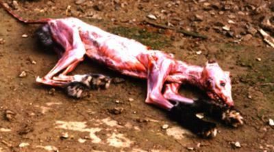 A silver fox. Animals who are skinned alive take up to ten minutes to die.