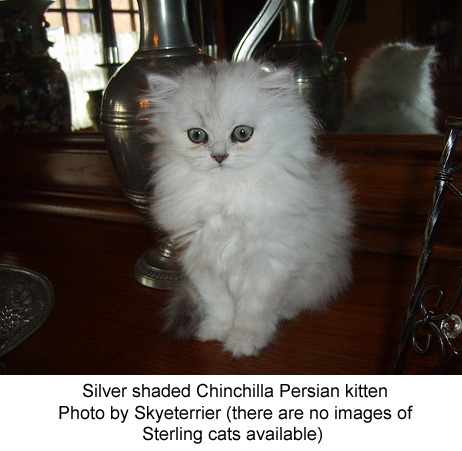 Sterling Cat or Persian Chinchilla cat