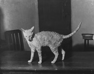cornish rex cat kallibunker