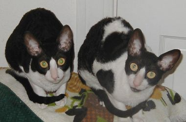 Cornish Rex cats Cleo (left)