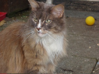 Crosby  - Maine Coon Cat