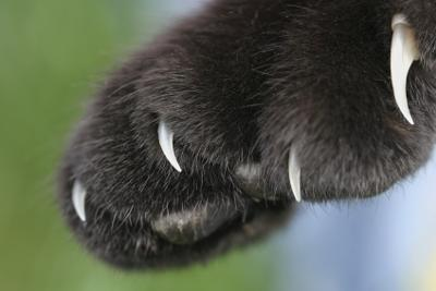 Healthy cat's claws - impressive aren't they? Photo added by Michael (Admin)