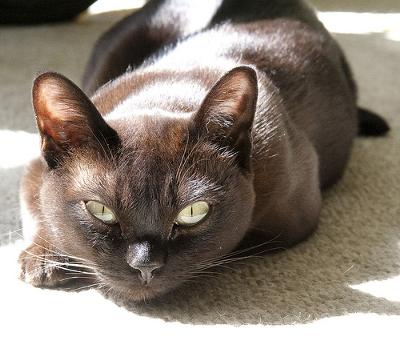 Beautiful, healthy sable American Burmese cat - photo by michaelbennett (Flickr)