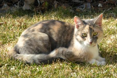 http://pictures-of-cats.org/wp-content/uploads/images/dilute-calico-cat-21348469.jpg