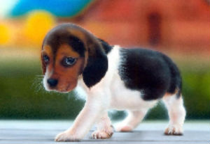 Beagle - good with cats - photo by filmismylove (Flickr)