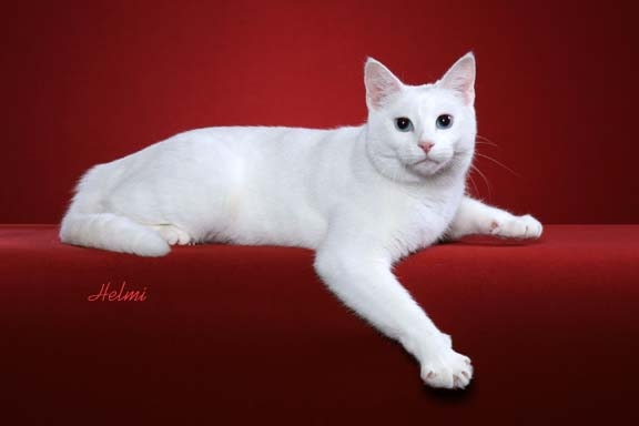 Domestic Shorthair cat DSH moggie