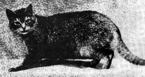 Abyssinian cat champion 1907