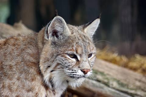 Lynx cat - photo#22