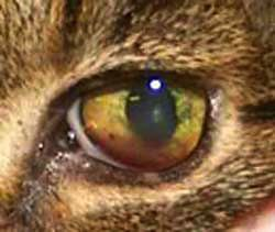 felv cats eye yellow