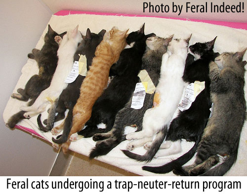 feral cats undergoing trap neuter return program