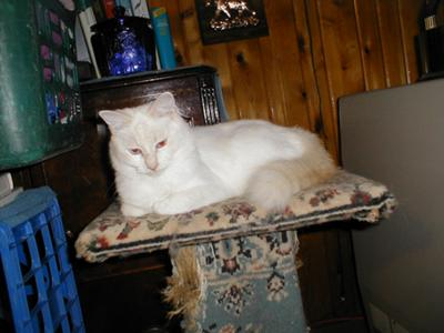 flame point balinese cat snapper fish point balinese she is white with