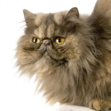 Flat Faced Persian Cat -