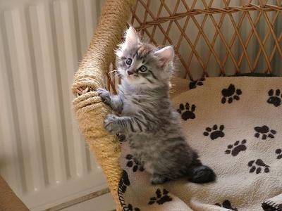 Maine Coon Kitten - photo by