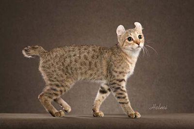 Highlander cats - pictures of cats