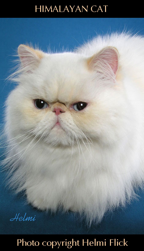 Himalayan cat called Cheri