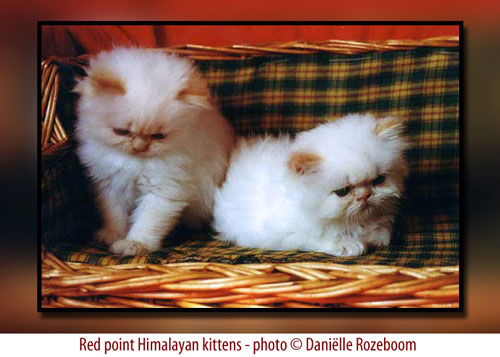 himalayan kittens red point