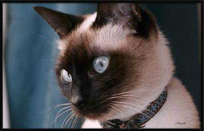Traditional Siamese cat - photo added by Michael (Admin) and by julicath/Cath (pas vraiment présente) - Flickr (see link below)