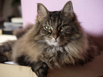 Milly - our old Norwegian Forest Cat