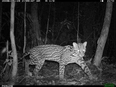 Ocelot - photo by Smithsonian's National Zoo