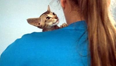 Photo added by Michael - a baby OSH on the shoulder of the breeder at a cat show waiting to be photographed