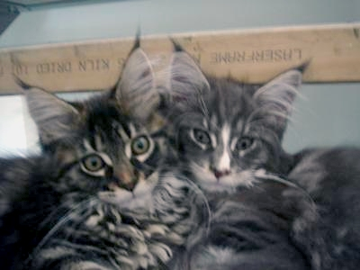 Maine Coon Kittens - Star (left) and Saxon.