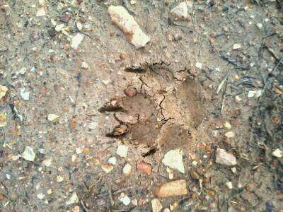 Mountain lion paw print?