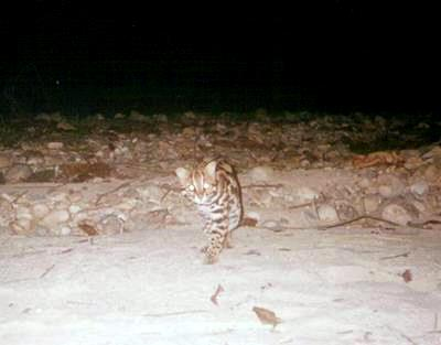 Leopard cat approaches a camera trap