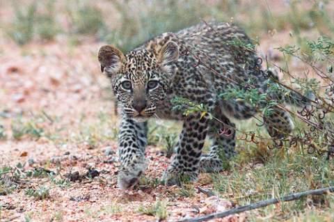 Leopard cubs poc