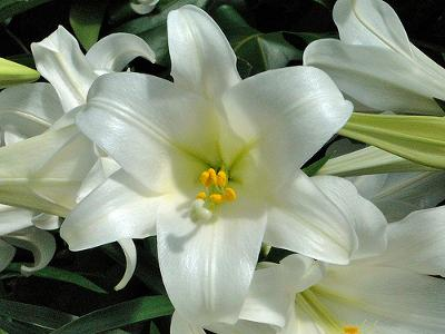 Easter lilies - photo by Maia C (Flickr) under license