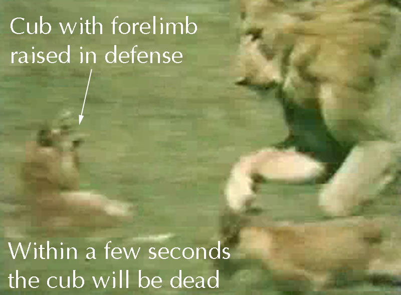 http://pictures-of-cats.org/wp-content/uploads/images/lion-infanticide-1.jpg