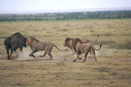 Lions and buffalo