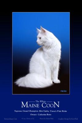 White Maine Coon - a deaf cat and a beautiful cat - photo copyright Helmi Flick
