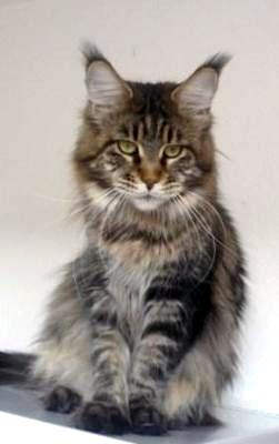 Maine coon of moonlight cats