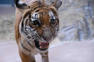 Indochinese tiger (why do I show this tiger? - see below please) - photo by guppiecat (Flickr) Creative Commons