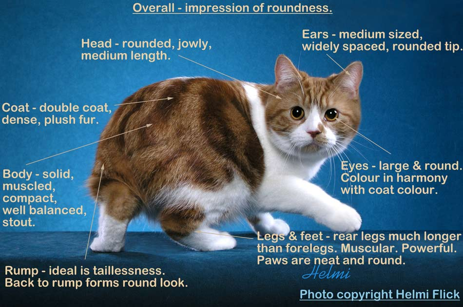 Manx cat illustrated breed standard