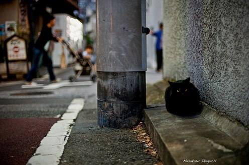Black stray or feral cat photographed by MAR in Toyko