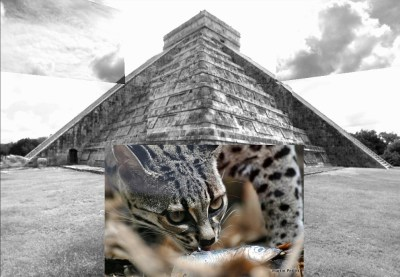 Mayan Pyramid and Margay - Photos: Pyramid:- by striatic (Flickr), Margay:- by Martin Pettitt (Flickr)