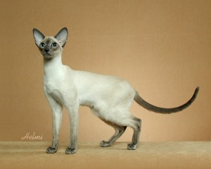 The very slender (Oriental) Modern Siamese - photo copyright Helmi Flick