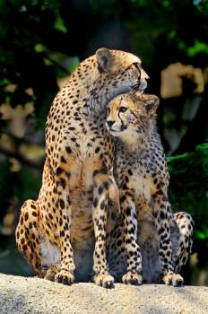 mother cheetah and offspring