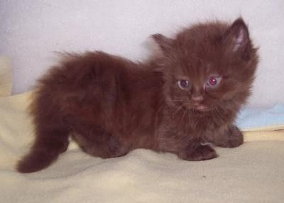 The offspring of Munchkinlane Milton P. Hershey - Picture added by PoC Admin - Hope you are OK with that Terri!