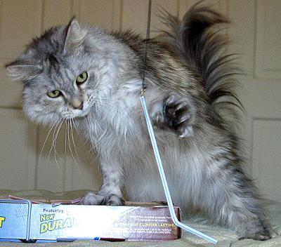 Maine Coon Tootsie - she is polydactyl - photo by valleygirl_tka (Flickr)