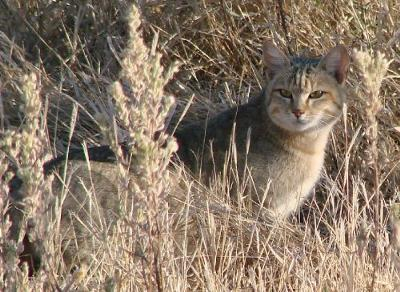 African wildcat, Okavango Delta - Photo by randomtruth and added by Michael to illustrate the page.