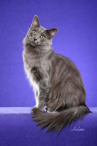 Photo of Nebelung Cat Lovenblues Mozart Bronikowski