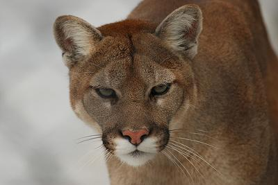 Mountain lion - photo by Craig A. Hyatt (Flickr)