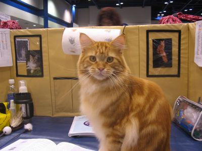 Orange Maine Coon cat added by Michael (Admin) to illustrate article - this is a tabby MC - photo krisandapril (Flickr)