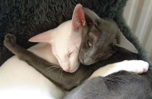 Oriental Shorthair cat picture
