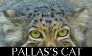 Pallas cat ears
