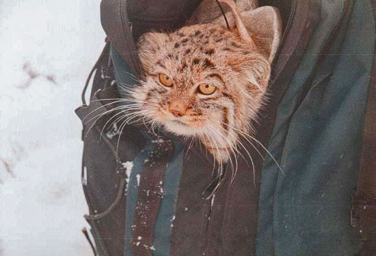 Pallas's cat in a rucksack