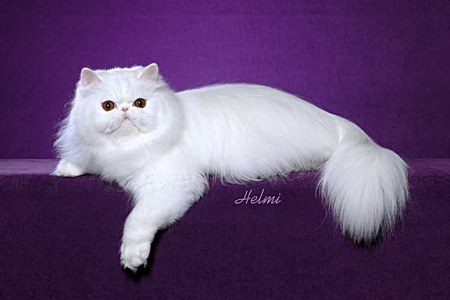 Angora vs persian cat
